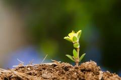 Pequeña planta que crece después de primavera Fotos de archivo