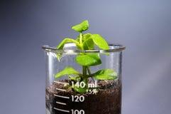 Pequeña planta que sale de un vidrio del laboratorio Fotografía de archivo libre de regalías