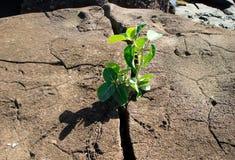 Pequeña planta que se rompe a través de una roca Imagen de archivo libre de regalías