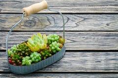 Pequeña planta suculenta verde en cesta en fondo de madera con el espacio de la copia Foto de archivo libre de regalías