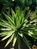 Pequeña planta verde del áloe Imágenes de archivo libres de regalías