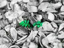 Pequeña planta verde que crece fuera de un mar de cáscaras Foto de archivo