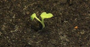 Pequeña planta verde sola que muere en la tierra seca del fondo de tierra, calentamiento del planeta, concepto del proyecto, desa almacen de video