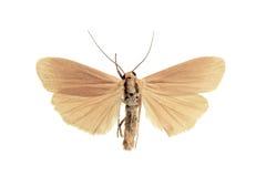 Pequeña polilla blanca del liquen, plana de Eilema Fotos de archivo