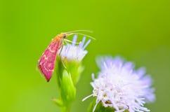Pequeña polilla rosada. consumición del néctar de la cabra Weed fotografía de archivo