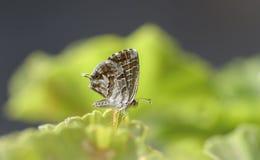 Pequeña presentación de la mariposa Imagen de archivo