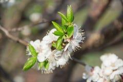 Pequeña rama apacible de la cereza floreciente imagen de archivo