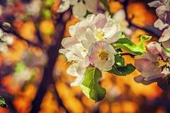 Pequeña rama del fondo floral del manzano imagen de archivo libre de regalías