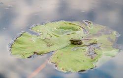 Pequeña rana en la hoja del lirio Fotos de archivo