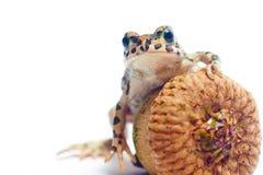 Pequeña rana linda con la bellota Imagen de archivo