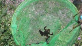 Pequeña rana marrón en la red mojada verde de la mariposa, opinión del primer almacen de metraje de vídeo