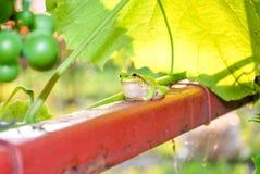 Pequeña rana verde foto de archivo