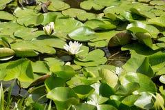 Pequeña rana verde en la superficie de los lirios de agua Fotos de archivo