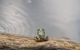 Pequeña rana y la charca Foto de archivo