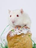 Pequeña rata linda Fotografía de archivo
