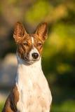 Pequeña raza Basenji del perro de caza Imagen de archivo