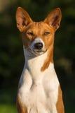 Pequeña raza Basenji del perro de caza Imagenes de archivo