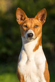 Pequeña raza Basenji del perro de caza Foto de archivo libre de regalías