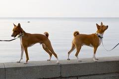 Pequeña raza Basenji del perro de caza dos Imágenes de archivo libres de regalías