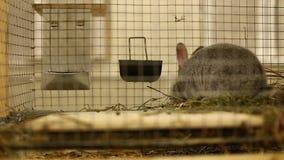 Pequeña raza del conejo de la chinchilla de plata gris almacen de metraje de vídeo
