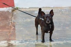 Pequeña raza del perro Fotografía de archivo libre de regalías