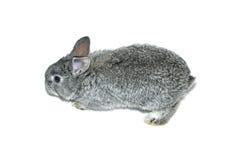 Pequeña raza gris del conejo de la chinchilla gris aislada Fotos de archivo