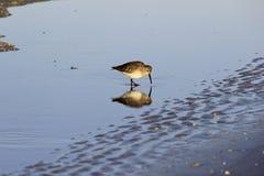Pequeña reflexión, arena y agua del pájaro de la playa Fotografía de archivo
