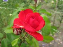 Pequeña Rose roja Foto de archivo