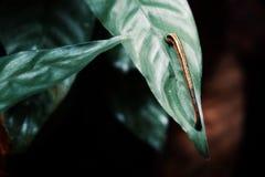 Pequeña sanguijuela que busca a una víctima entre las plantas tropicales enormes de la selva tropical fotografía de archivo libre de regalías