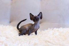 Pequeña sentada del gato de Devon Rex del gatito Imágenes de archivo libres de regalías
