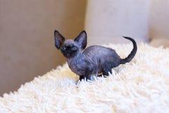 Pequeña sentada del gato de Devon Rex del gatito Fotografía de archivo libre de regalías