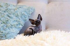 Pequeña sentada del gato de Devon Rex del gatito Foto de archivo libre de regalías