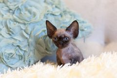 Pequeña sentada del gato de Devon Rex del gatito Fotos de archivo libres de regalías