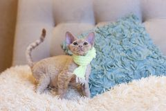 Pequeña sentada del gato de Devon Rex del gatito Fotos de archivo