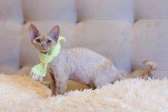 Pequeña sentada del gato de Devon Rex del gatito Fotografía de archivo