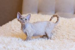 Pequeña sentada del gato de Devon Rex del gatito Foto de archivo