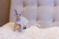 Pequeña sentada del gato de Devon Rex del gatito Imagen de archivo