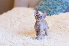 Pequeña sentada del gato de Devon Rex del gatito Imagenes de archivo