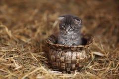 Pequeña sentada gris del gatito Imagen de archivo