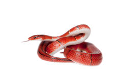 Pequeña serpiente de bambú roja aislada en blanco Fotos de archivo libres de regalías