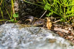 Pequeña serpiente del jardín imagenes de archivo