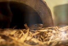 Pequeña serpiente del jardín que mira a escondidas hacia fuera de un falso tocón hueco fotos de archivo