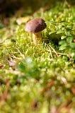 Pequeña seta en el bosque Foto de archivo libre de regalías