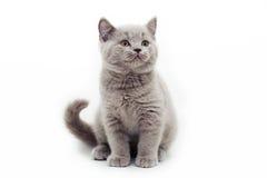Pequeña sonrisa linda gris de británicos del gatito Fotos de archivo libres de regalías