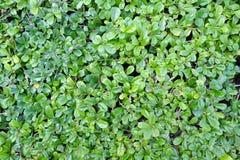 Pequeña textura verde del fondo de la pared de las hojas Imágenes de archivo libres de regalías