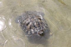 Pequeña tortuga Foto de archivo libre de regalías
