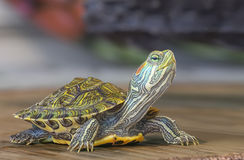 Pequeña tortuga Imagen de archivo libre de regalías