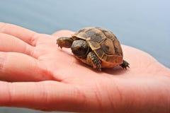 Pequeña tortuga en la palma Imágenes de archivo libres de regalías