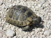 Pequeña tortuga en piedras Imagen de archivo libre de regalías