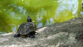 Pequeña tortuga gris preciosa de la tortuga que se sienta tranquilamente cerca del río de la charca observando la naturaleza del  almacen de metraje de vídeo